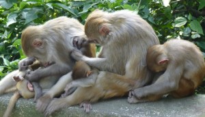 vlooiende apen