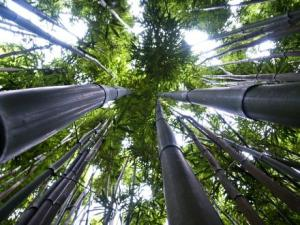 bamboe-bos